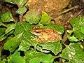 Frog Kurixalus IMG 0609 03.jpg
