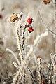 Frost 001.jpg