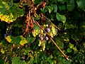 Frost grapes and leaves (Southeast Michigan).JPG