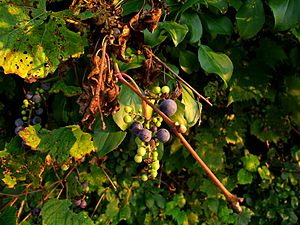 Vitis riparia - Frost grapes, immature grapes, and leaves (Late summer, Southeast Michigan)
