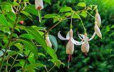 Fuchsia 'Aloys Hetterscheid' 01.jpg