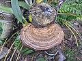 Fungi-113-bsi-yercaud-salem-India.jpg