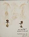 Fungi agaricus seriesI 008.jpg