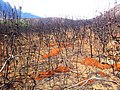Fynbos after Fire - dead proteas and orange protea seeds - South Africa.jpg