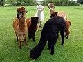 GOC The Pelhams 091 Alpacas (Vicugna pacos) (27683718813).jpg
