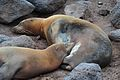 Galápagos Sea Lion (4885189924).jpg