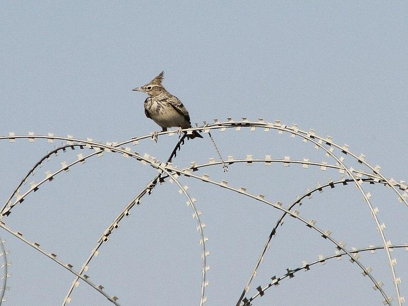 File:Galerida cristata -Kandahar, Afghanistan-8.jpg