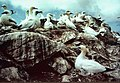Gannets on Humla Stack - geograph.org.uk - 547839.jpg