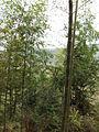 Gaobei Village - bamboo forest - DSCF3247.JPG