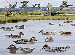 Garganey from the Crossley ID Guide Britain and Ireland