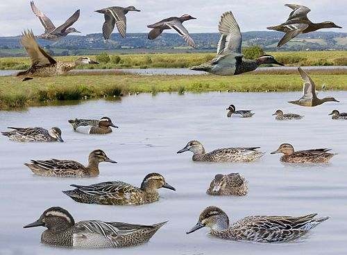 Garganey from the Crossley ID Guide Britain and Ireland.jpg
