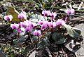 Garten-Alpenveilchen (Cyclamen) (12861460655).jpg