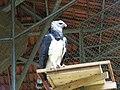 Gavião Rei no zoológico de Manaus.jpg