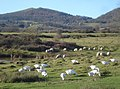 Geese and Sheep grazing on Hollybed Common - geograph.org.uk - 732239.jpg
