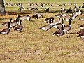 Geese at Hamlin Lake - panoramio.jpg