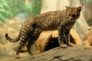 Geoffroy's cat - Geoffroy's Cat