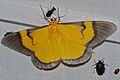 Geometrid Moth (Celerena signata) (8538378889).jpg