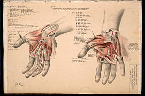 """George Henry Ford - Plate from """"Illustrations of dissections"""" (1867)"""