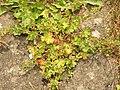 Geranium pusillum (14243729759).jpg