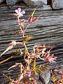 Geranium robertianum s. str. sl4.jpg