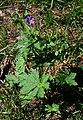 Geranium sylvaticum 1.jpg