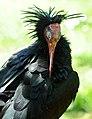 Geronticus eremita -Pensthorpe Nature Reserve-8b.jpg