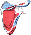 Gerrish's Text-book of Anatomy (1902) - Fig. 163.png