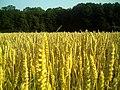 Getreide - panoramio (1).jpg