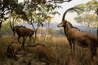Giant sable antelope subspecies of mammal