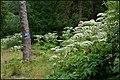 Giant hogweed, Gilford - geograph.org.uk - 482747.jpg