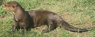 Giant otter - Giant otter