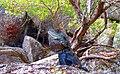 Gippsland Water Dragon(Intellegama lesueurii howittii) (8256601981).jpg