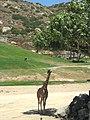 Giraffe in the Shade (4742727909).jpg