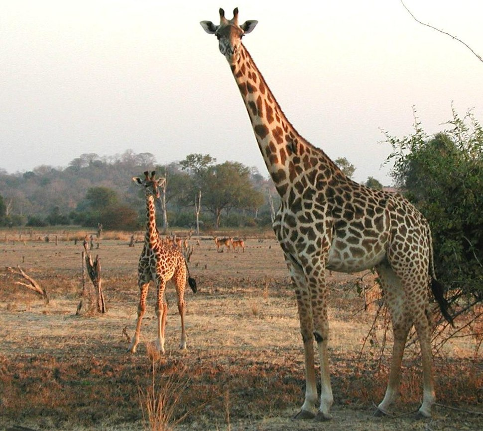 Giraffe mother and calf (cropped)