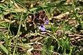 Glechoma-hederacea-flower.jpg