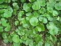 Glechoma hederacea leaves.JPG
