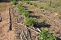 Gliricidia shrub legume 7229.JPG