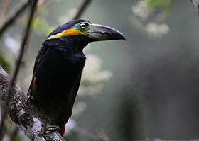 Golden-collared Toucanet.jpg