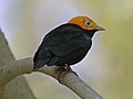 Golden-headed Manakin RWD.jpg