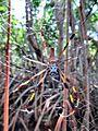 Golden Silk Orb Weaver (6155835294).jpg
