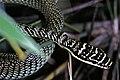 Golden Tree Snake (Chrysopelea ornata ornatissima) (7796643322).jpg