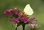 Gonepteryx rhamni - Brimstone 03.jpg