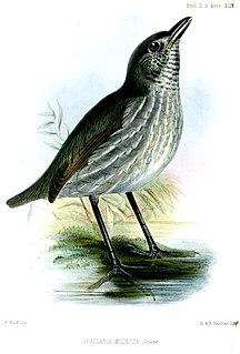 <i>Myrmothera</i> genus of birds