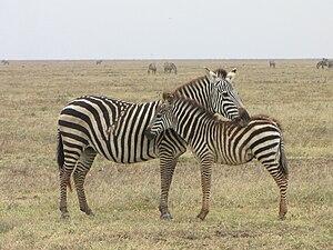 Grant's zebra - Female with foal, resting, Serengeti, Tanzania