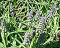 Grape hyacinth muscari armeniacum - saffier 2.jpg