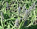 Grape hyacinth muscari armeniacum - saffier 2.jpg