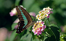 Butterfly feeding on Lantana camara
