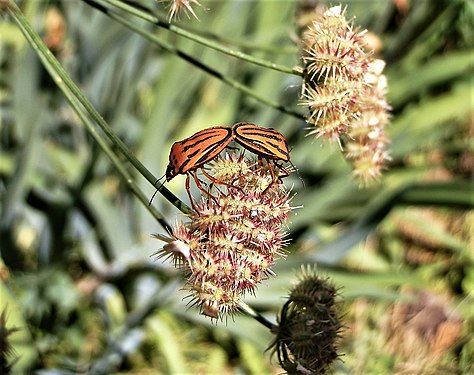Graphosoma lineatum mating (9).jpg