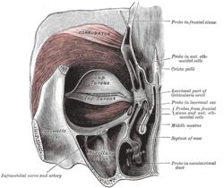 orbicularis oculi muscle - wikipedia, Human body