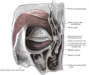 Infraorbital nerve - Left orbicularis oculi, seen from behind. (Infraorbital nerve labeled at lower left.)